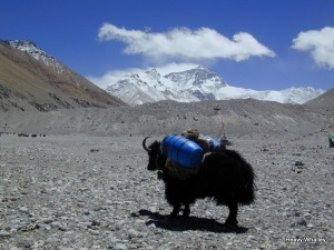 Yaks take kit up 21000 feet on North side of Everest.