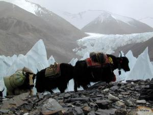 The Yaks in action