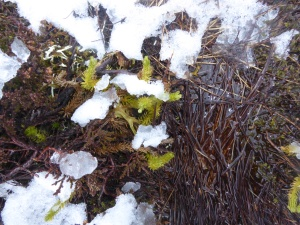 Club Moss breaking through in the snow.